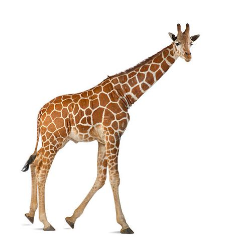 Royalty Free Giraffe Pictures, Images and Stock Photos ...