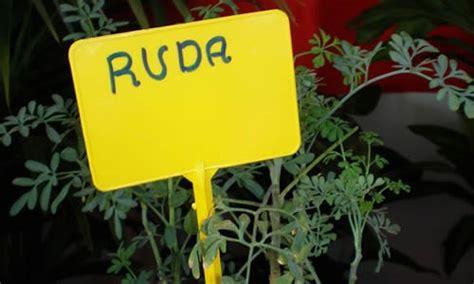 Ruda y sus caracteristicas - Tusplantasmedicinales.com