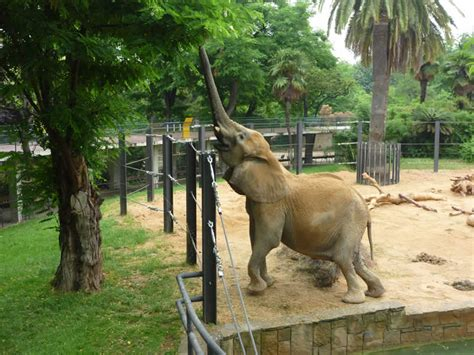 Sad elephants in Barcelona Zoo   sanctuary in Europe needed