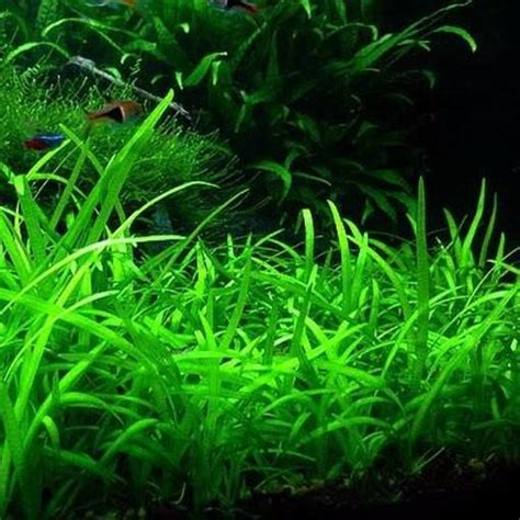 Sagittaria Subulata 30x Planta Acuario Tapizante Fácil ...