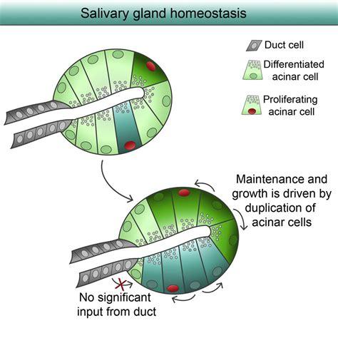 Salivary Gland Homeostasis Is Maintained through Acinar ...