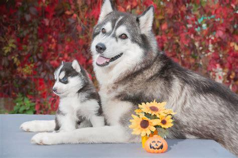 Salud y reproducción del husky siberiano