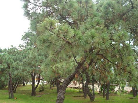 sancarlosfortin: bosque natural de pinos en hospital de la ...