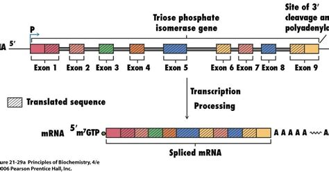 Sandwalk: RNA Splicing: Introns and Exons