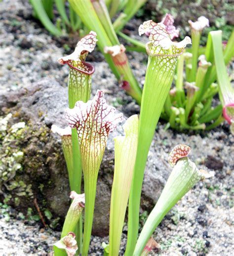 Sarracenia. Más información en: http://www.elhogarnatural ...