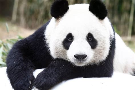 Say Cheese! Chinese Pandas Get Photo Op in Seoul   NBC News