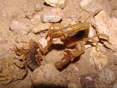 Scorpion | 6legs2many