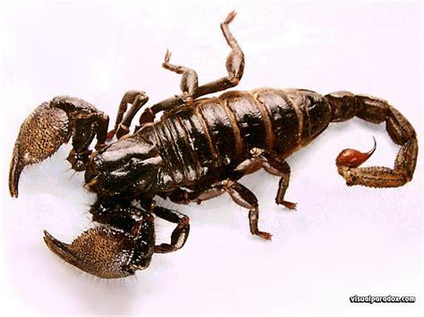Scorpion | Animal Wildlife