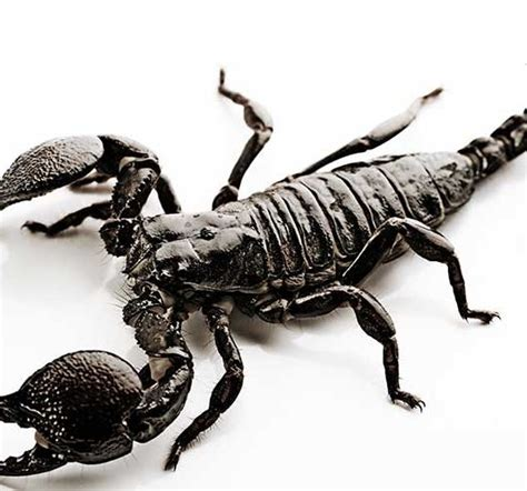 Scorpion Facts and Information