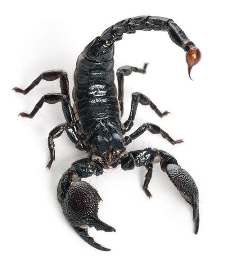 Scorpion Facts - KidsPressMagazine.com