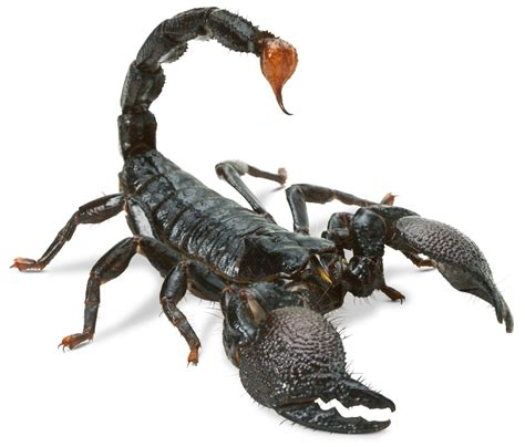 Scorpion Facts | Scorpion Information | DK Find Out