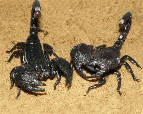 Scorpion | The Biggest Animals Kingdom