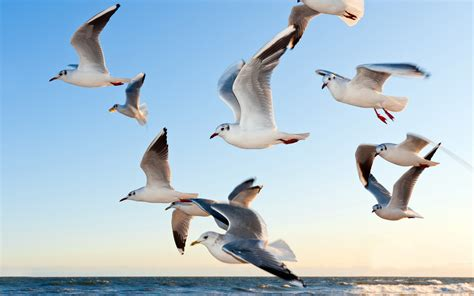 Seagulls Wallpapers   HD Wallpapers   ID #16375