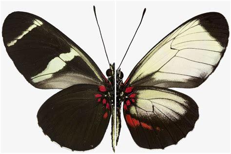 Secrets of butterfly wing patterns revealed by gene ...
