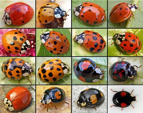 Seed to Feed Me: LADYBIRD FACTS