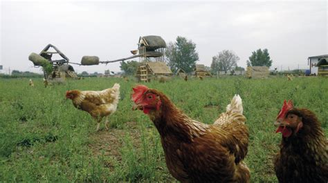 Selecciones Avícolas - Agricultura familiar, avicultura ...