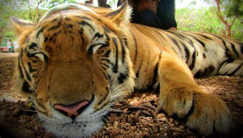Sentidos de los tigres