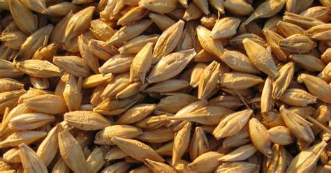 Sepa propiedades medicinales de la Cebada [Curativas ...