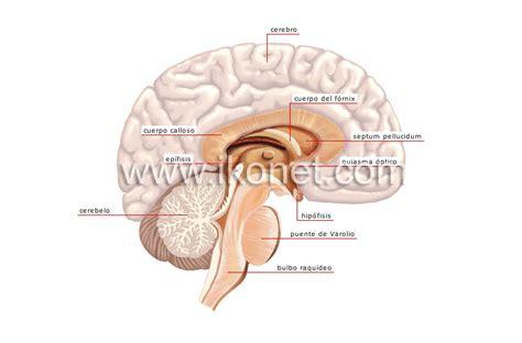 ser humano > anatomía > sistema nervioso > sistema ...