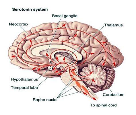 serotonina Archives | Consultas y terapias ...
