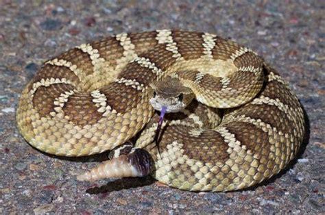 Serpiente Cascabel | Informacion sobre animales