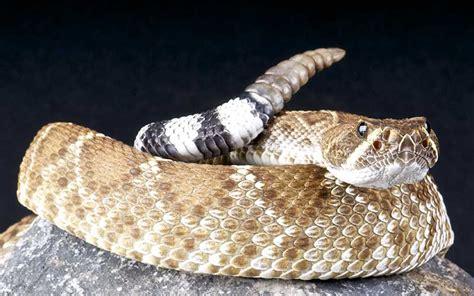 Serpiente de Cascabel - Información y Características