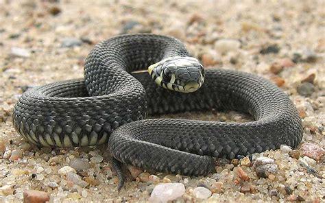 Serpiente - Información y Características