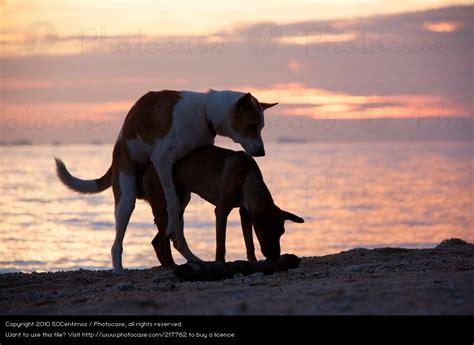 Sex on the beach - Hunde am Strand bei Sonnenuntergang von ...