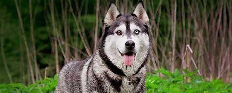 Siberian Husky Facts   Top Ten List   Most Interesting