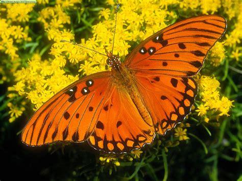Sibila Bruja: La Mariposa