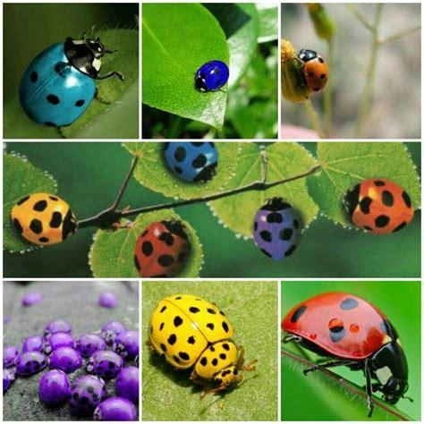 Simbología de la Mariquita.???????? | •Miraculous Ladybug ...