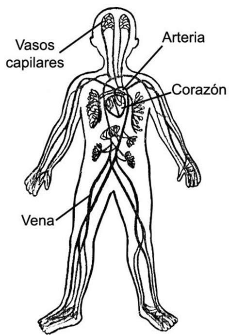 sistema circulatorio   El Cuerpo Humano   Pinterest