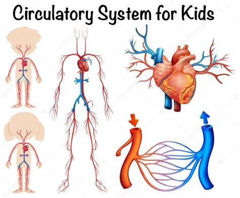 Sistema circulatorio para niños — Archivo Imágenes ...