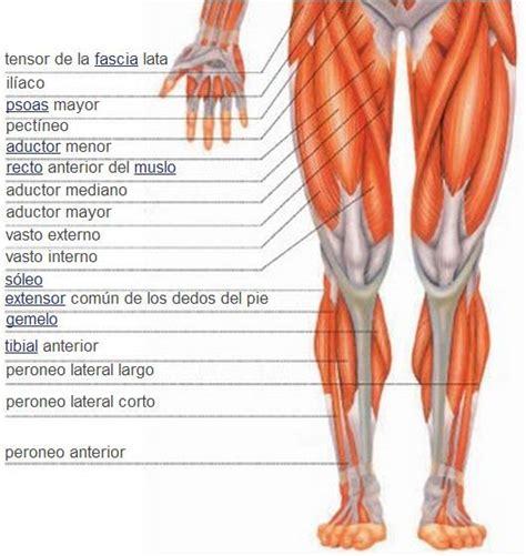 Sistema muscular | Músculos de la pierna | Vista anterior ...