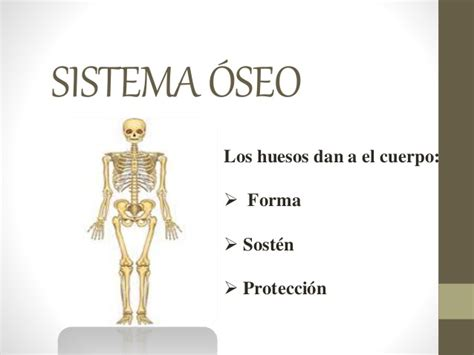 Sistema Muscular Para Ninos - newhairstylesformen2014.com