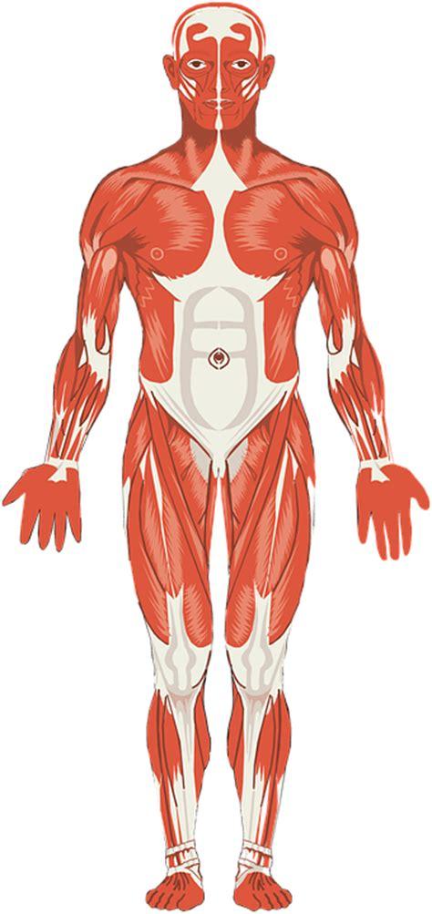 Sistema muscular – Que es, tipos de musculo, estructura ...