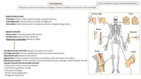 Sistema musculo esqueletico y conjuntivo   Thepix.info