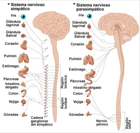 Sistema nervioso autónomo ~ Ciencias Naturales