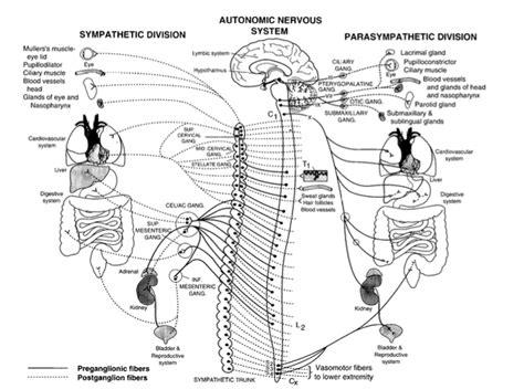 Sistema nervioso autónomo | consultadeneurologia