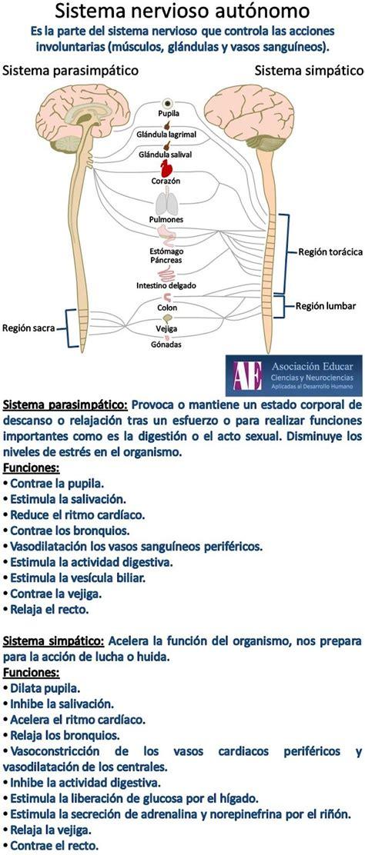 Sistema nervioso autónomo. | Neuroscience | Pinterest