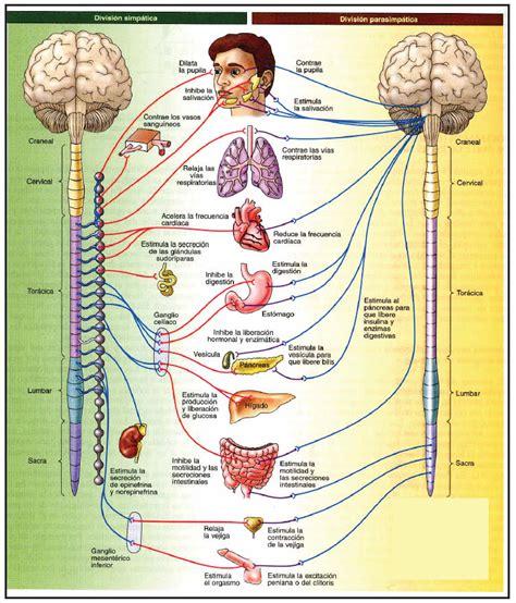 Sistema nervioso Autónomo (Neurovegetativo) » Blog de Biología