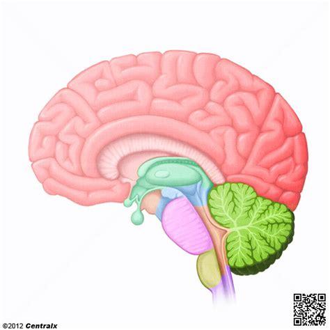 Sistema Nervioso Central   Atlas de Anatomía del Cuerpo ...
