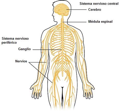 Sistema Nervioso Central: Partes y Funciones  con Imágenes ...
