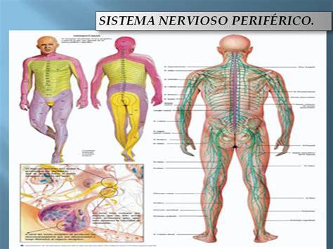 SISTEMA NERVIOSO CENTRAL: SISTEMA NERVIOSO CENTRAL HUMANO