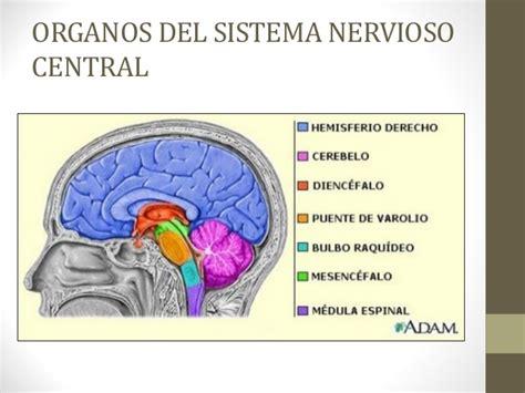Sistema Nervioso clase 5