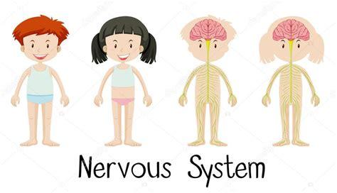Sistema nervioso de los niños y niñas — Vector de stock ...