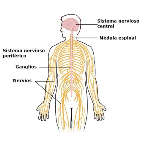 Sistema Nervioso Humano: Estructuras y Funciones  con ...