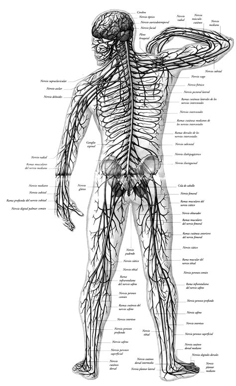 Sistema nervioso para colorear   Sistema nervioso
