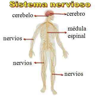 Sistema Nervioso   Periférico, Somático, Autónomo ...