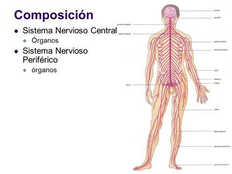 Sistema nervioso.   ppt video online descargar
